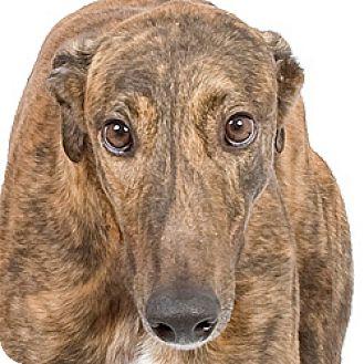 Greyhound Dog for adoption in Philadelphia, Pennsylvania - Robin