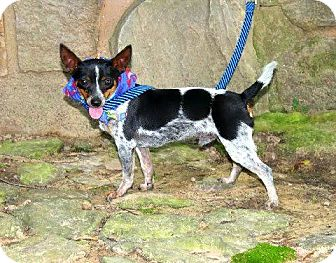 Rat Terrier Mix Dog for adoption in Muldrow, Oklahoma - Poncho