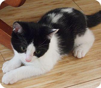 Domestic Shorthair Kitten for adoption in Buhl, Idaho - Derrick