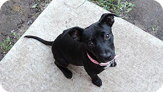 Pekingese/Dachshund Mix Puppy for adoption in Brookings, South Dakota - Tora