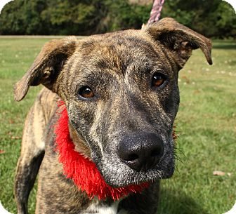 Pit Bull Terrier Mix Dog for adoption in Jackson, Michigan - Buddy