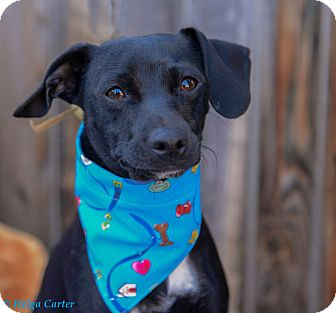 Chihuahua/Terrier (Unknown Type, Small) Mix Dog for adoption in Corrales, New Mexico - Sugar