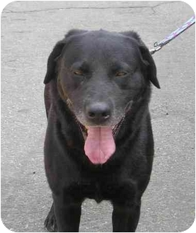 Labrador Retriever Mix Dog for adoption in South Lake Tahoe, California - River