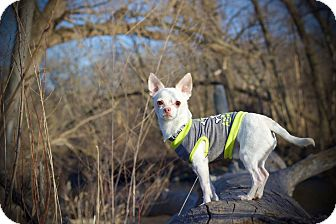 Chihuahua Mix Dog for adoption in Milwaukee, Wisconsin - Cecil