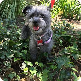Poodle (Miniature) Mix Dog for adoption in Encino, California - Peppy