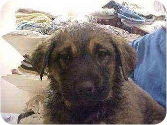 Labrador Retriever Mix Puppy for adoption in Burnsville, North Carolina - Devon