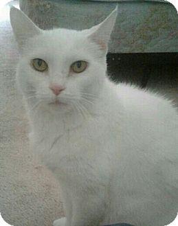 Domestic Shorthair Cat for adoption in Ypsilanti, Michigan - Chloe