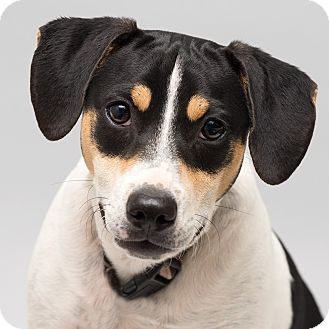 Terrier (Unknown Type, Small)/Beagle Mix Dog for adoption in Westfield, New York - Bobby