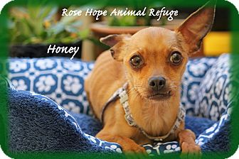 Chihuahua Mix Dog for adoption in Waterbury, Connecticut - Honey