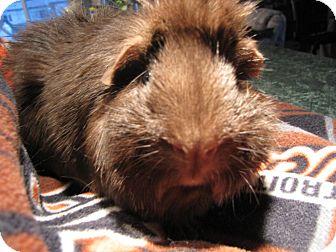 Guinea Pig for adoption in Warren, Michigan - Rumplestiltskin/Mr. Gold Pendi