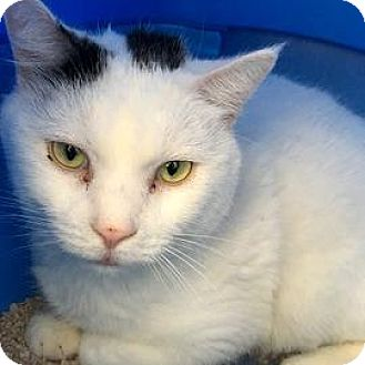 Domestic Shorthair Cat for adoption in Janesville, Wisconsin - Minga
