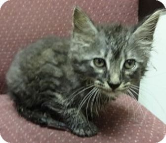 Domestic Mediumhair Kitten for adoption in Olive Branch, Mississippi -