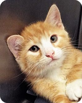Domestic Shorthair Kitten for adoption in Grants Pass, Oregon - George
