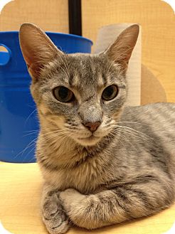 Domestic Shorthair Cat for adoption in Richmond Hill, Ontario - Daisy