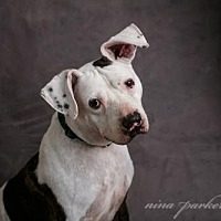 Adopt A Pet :: Louie in Atlanta, GA - Richmond, VA