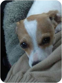 Chihuahua Mix Puppy for adoption in Culver City, California - Pixie
