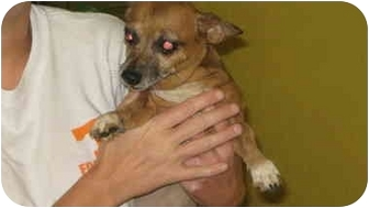 Chihuahua Mix Dog for adoption in Talbott, Tennessee - Thelma