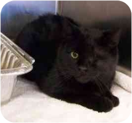 Domestic Shorthair Cat for adoption in Tahlequah, Oklahoma - One-Eyed Jack
