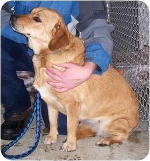 Leonberger/Golden Retriever Mix Dog for adoption in Somerset, Pennsylvania - Lyndsay