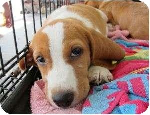Beagle Mix Puppy for adoption in Richmond, Virginia - Peaches