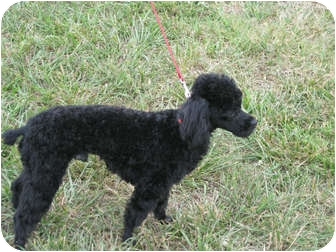 Poodle (Miniature) Mix Dog for adoption in Statesville, North Carolina - Pierre