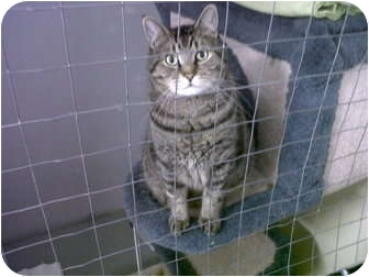 Domestic Shorthair Cat for adoption in Mission, British Columbia - Sash