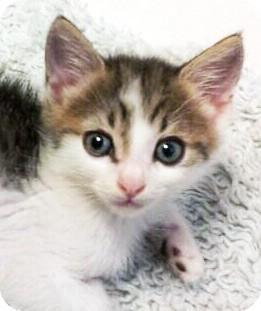 Domestic Shorthair Kitten for adoption in Irvine, California - Ozzy