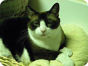 Burmese Cat for adoption in E. Wareham, Massachusetts - Little Kitty