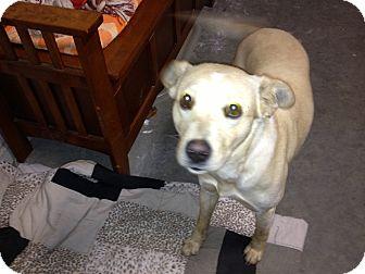Labrador Retriever Mix Dog for adoption in Cranford, New Jersey - Sophie