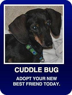 Dachshund Mix Dog for adoption in Morrisville, Pennsylvania - Shadow