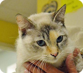 Siamese Cat for adoption in Searcy, Arkansas - Sasha