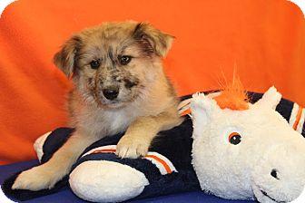 Australian Shepherd Mix Puppy for adoption in Broomfield, Colorado - Touchdown