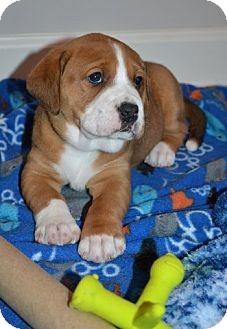 Labrador Retriever/Boxer Mix Puppy for adoption in Danbury, Connecticut - Kate
