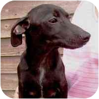 Dachshund/Beagle Mix Dog for adoption in North Wilkesboro, North Carolina - Pippin