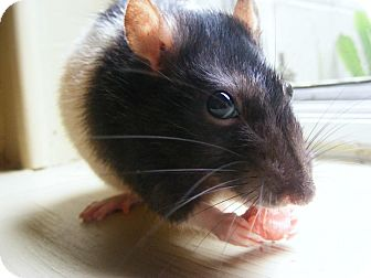 Rat for adoption in St. Paul, Minnesota - Halo