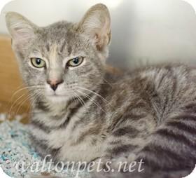 Domestic Shorthair Cat for adoption in Monroe, Georgia - CHELSEA