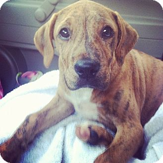 Boxer/Hound (Unknown Type) Mix Puppy for adoption in Seneca, South Carolina - Ivan $250