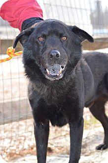 Labrador Retriever/Chow Chow Mix Dog for adoption in Henderson, North Carolina - Smokey