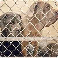 Adopt A Pet :: Elsa - Indianapolis, IN
