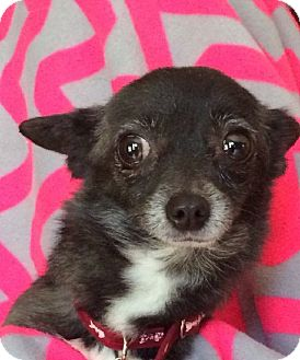 Chihuahua Dog for adoption in San Diego, California - CANDY