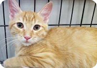 Domestic Shorthair Kitten for adoption in Highland Park, New Jersey - 10 Speed 18 Wheeler