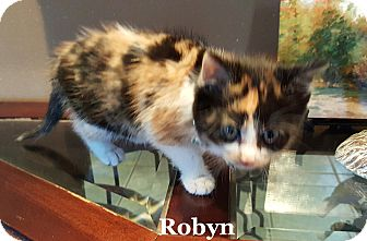 Calico Kitten for adoption in Bentonville, Arkansas - Robyn