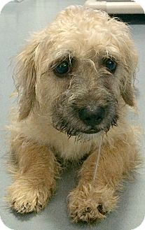 Cairn Terrier/Wheaten Terrier Mix Puppy for adoption in Boulder, Colorado - Ashby-Adoption Pending