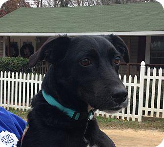 Labrador Retriever Mix Dog for adoption in Columbia, South Carolina - Rocky