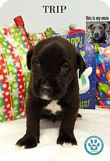 Labrador Retriever/Mastiff Mix Puppy for adoption in Kimberton, Pennsylvania - Trip