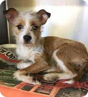 Terrier (Unknown Type, Medium)/Chihuahua Mix Dog for adoption in Alpharetta, Georgia - KeeKee