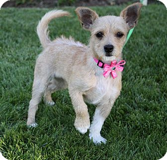 Terrier (Unknown Type, Small) Mix Puppy for adoption in Newport Beach, California - NINA