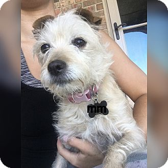 Jack Russell Terrier Mix Dog for adoption in Yukon, Oklahoma - Peyton
