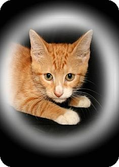 Domestic Shorthair Kitten for adoption in Bradenton, Florida - lollipop