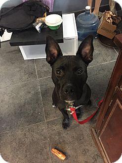 Pit Bull Terrier/Labrador Retriever Mix Dog for adoption in Las Vegas, Nevada - Sid